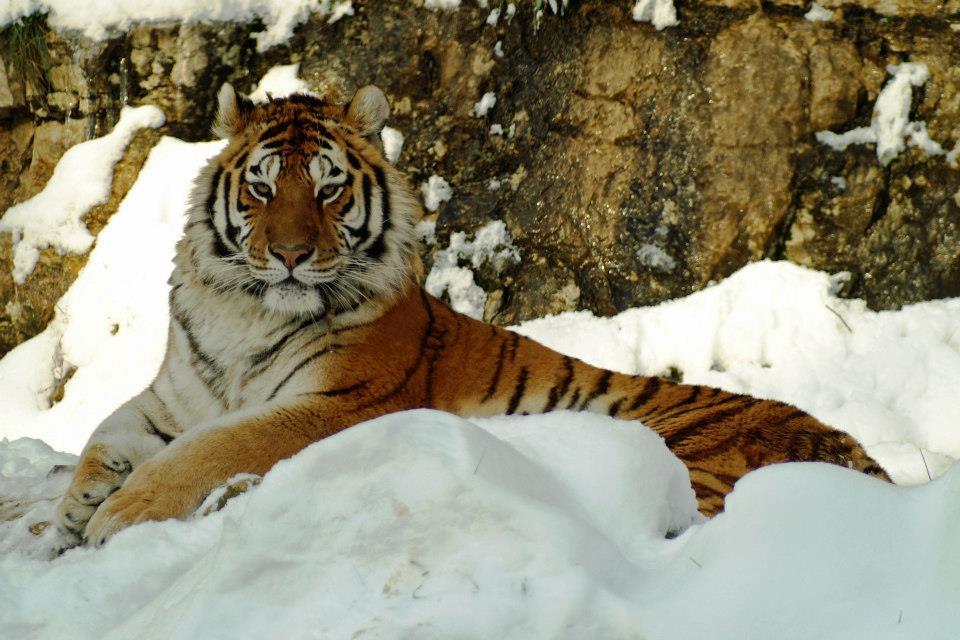 tigre.jpg - 96.71 Ko