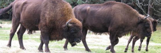 bison.jpg - 100.96 Ko